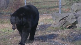 Wildlife center gives a home to hurt bears and other animals