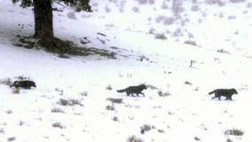 2 Yellowstone National Park wolf pups killed by car