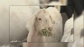 Illinois power company hires goats to clear out brush