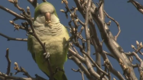 The monk parakeets of New Jersey
