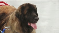 Meet the Breeds with the American Kennel club