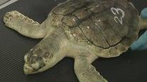 Rehabbing sea turtles