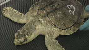 Stranded sea turtles rehabbing on Long Island