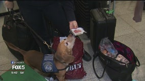 Beagle brigade on patrol at JFK International Airport