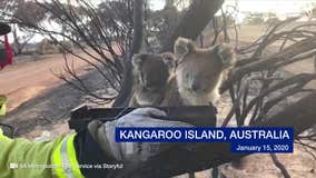 Firefighters give water to koala and her baby on Kangaroo Island