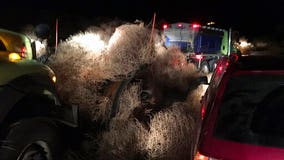 Cars get trapped in tumbleweeds on Washington state highway
