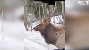 Bull elk wows visitors at national park in Colorado