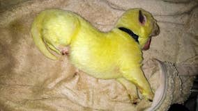 Not easy being green: North Carolina dog births unique puppy