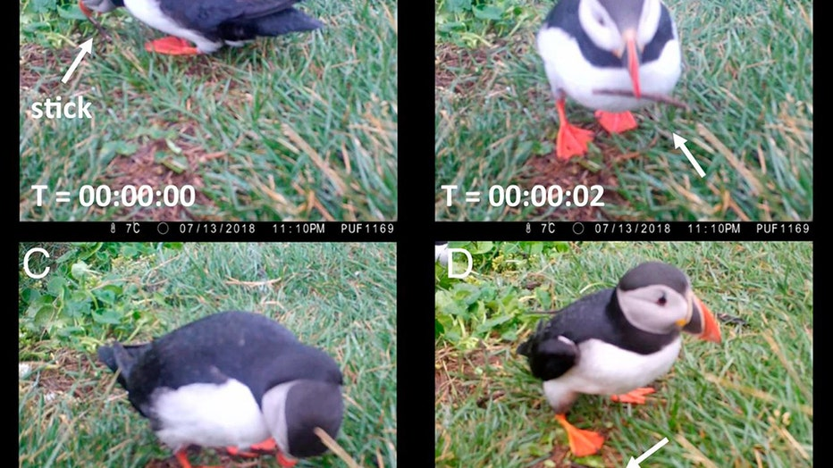 Screenshots of a puffin in Iceland