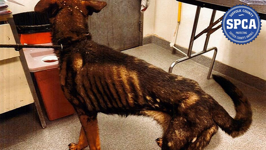 Malnourished German shepherd dog