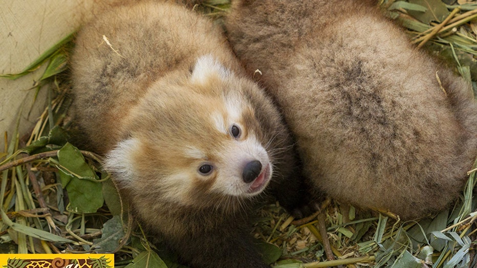 Two red panda cubs up close