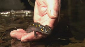 NJ town closes road so frogs, salamanders can safely cross