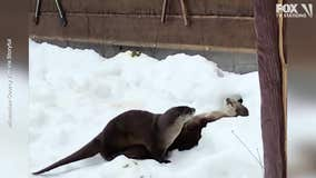 Otters play in snow tunnels at Milwaukee County Zoo