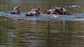 Pablo Escobar's hippos overrun town after his death