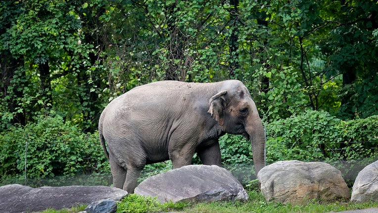 An elephan strolls past some rocks at the Bronx Zoo
