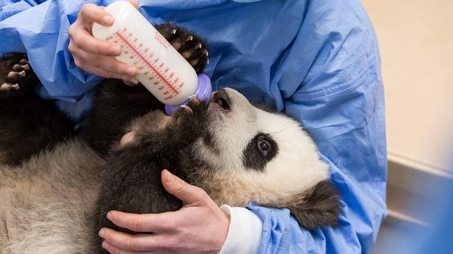 Panda drinking milk from a bottle