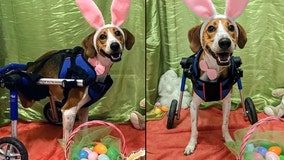 2-legged dog named Lieutenant Dan competing to become the next Cadbury Bunny