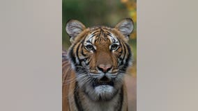 More animals test positive at Bronx Zoo