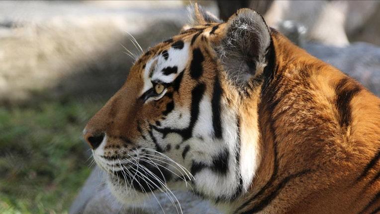 An Amur tiger at the Toronto Zoo.