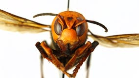 'Murder Hornets,' with sting that can kill, land in US