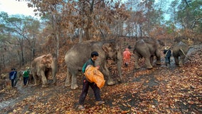 Pandemic puts Thai tourism elephants out of work