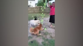 Having a ball: Dogs go crazy after being gifted hundreds of tennis balls by owner