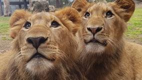 2 lions critically maul zookeeper at shut Australia zoo