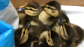 Central Park ducklings rescued after turtle killed their mom
