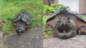 Massive snapping turtle roaming residential neighborhood gets a new home