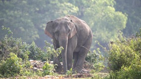 Pregnant elephant dies after being fed explosive-filled pineapple, reports say