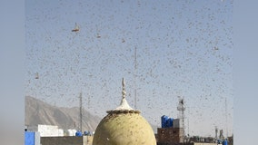 'Extremely alarming' swarms of locusts plague eastern Africa, western Asia amid COVID-19 pandemic