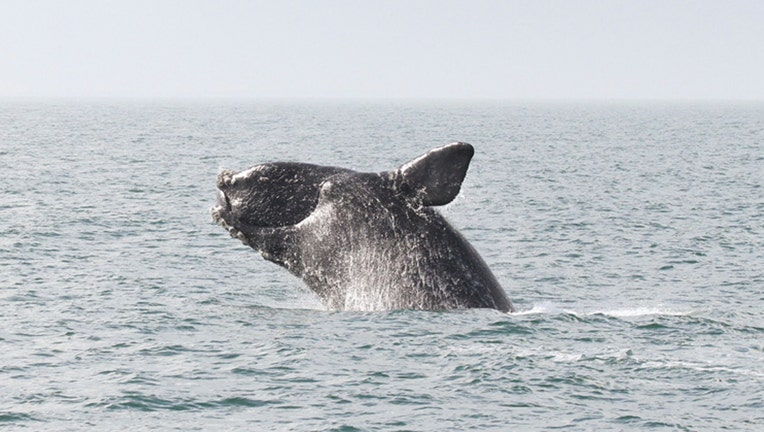 North Atlantic right whale breaches the water's surface