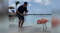 Pink flamingo learns to salsa thanks to vacationer in Aruba