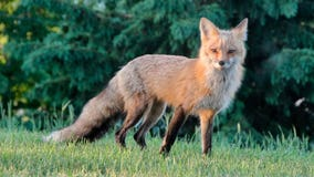 Fox attacks two people in New Jersey town
