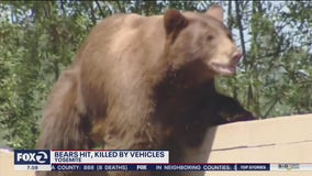 Bears struck and killed by speeding drivers in Yosemite National Park
