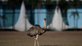 Wild emu caught wandering streets of Paterson