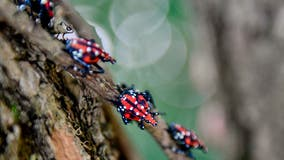 Spotted lanternfly warning in NJ and Staten Island