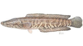 Invasive 'Frankenfish' spotted in Delaware River in Catskills