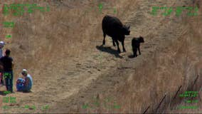 Elderly hikers airlifted after cow chased them in Solano County park