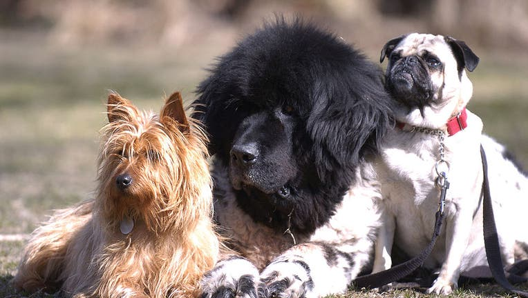 FILE - Doggie boot camp is held in the park at Kew Gardens on the beach. L to R: Australian terrier, Newfoundland, pug.