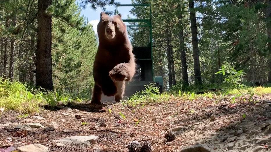 A black bear runs