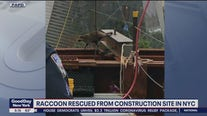 Raccoon rescued from WTC site