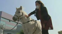 Mini horses visit hospital workers