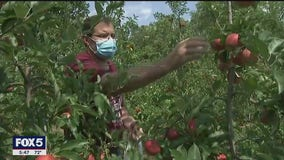 Apple orchards opening despite pandemic for fall picking season