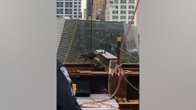 Raccoon dubbed 'Downtown Don' rescued from World Trade Center site