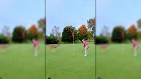 Curious deer watches closely as golfer sinks putt