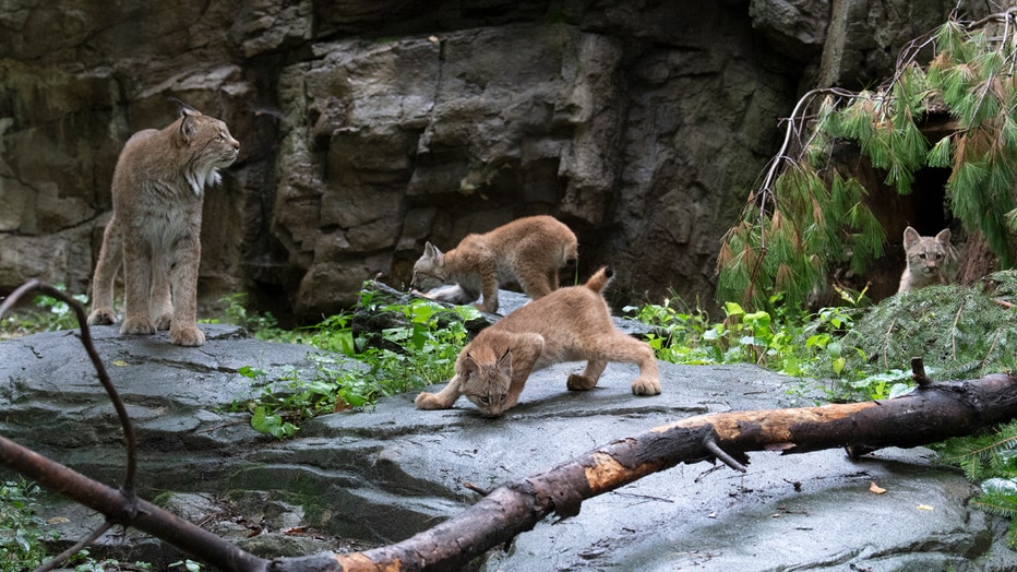 An adult Canada and three cubs stand on a rock formation in a zoo habitat