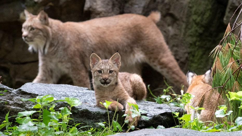 Two lynx cubs and their mother