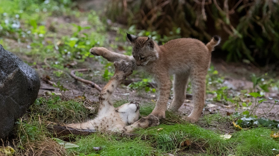 Two lynx cubs play with each other in a zoo habitat