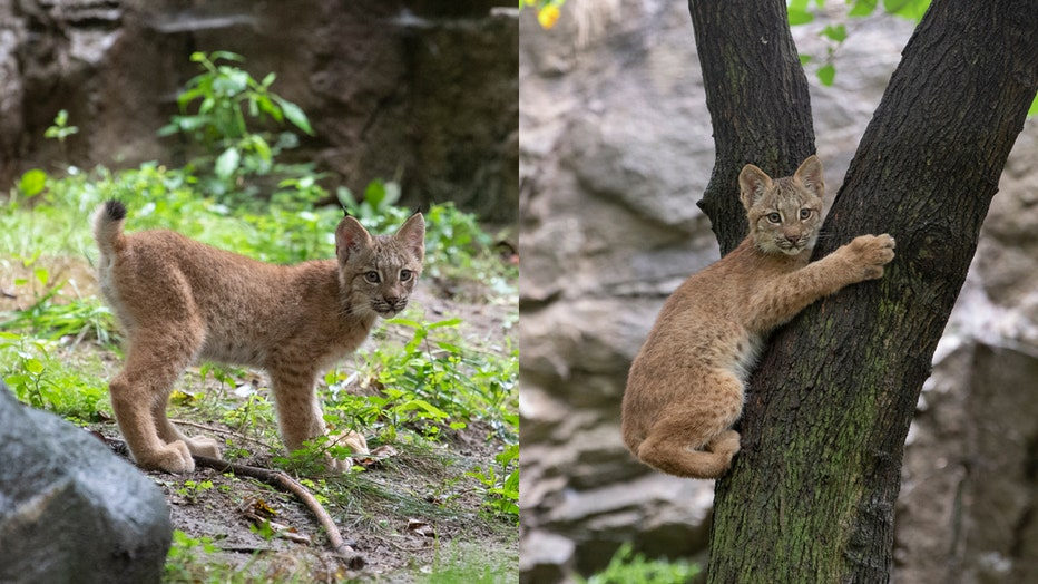 Two lynx cubs in a zoo habitat; one climbs a tree, the other stands on some dirt and weeds